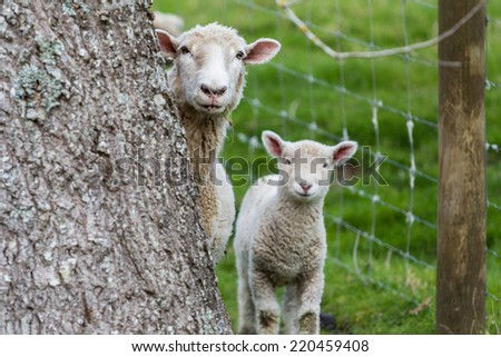 Hiding behind tree sheep and lamb - stock photo
