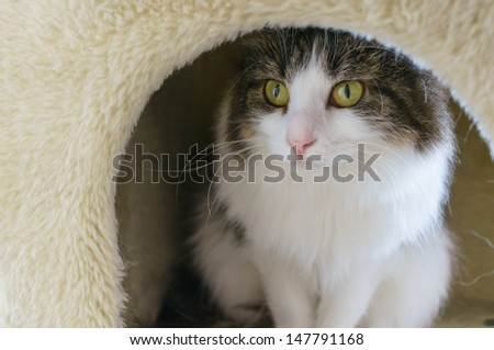 Hiding cat. Maine Coon - stock photo