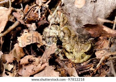 hiding common toad, forest - stock photo