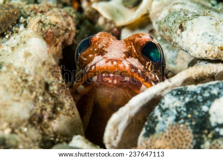 Hiding jawfish in Ambon, Maluku, Indonesia underwater photo. Jawfish Opistognathus sp. is hiding inside the sea bottom, only the head appeared.