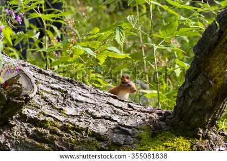 hiding squirrel - stock photo