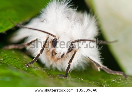hiding white ermine moth