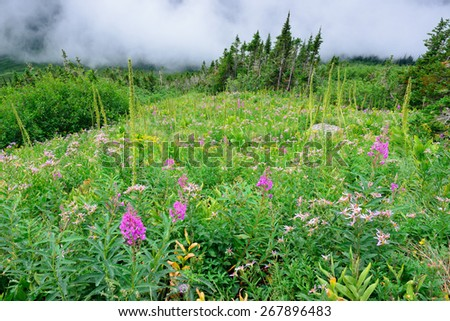high alpine tundra flowers and heavy fog in summer