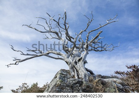 High altitude lone dead tree in blue sky. - stock photo