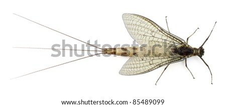 High angle view of Mayfly, Ephemera danica, in front of white background - stock photo