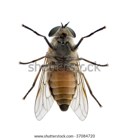 High angle view of pale giant horse fly, Tabanus bovinus, against white background, studio shot - stock photo