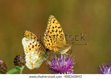 High brown fritillary (Fabriciana adippe) butterflies feeding and mating on thistle flowers.