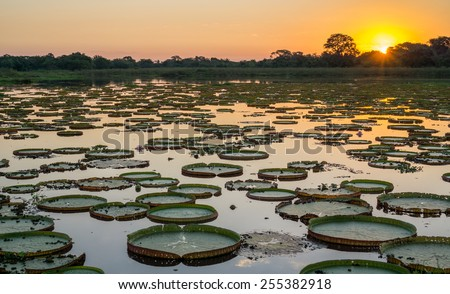 High contrast Sunset in Brazilian Pantanal with victoria regias and water