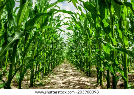 High corn crops on a row - stock photo