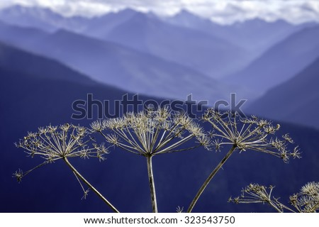 High-country wildflower in autumn: Closeup of cow parsnip (binomial name: Heracleum maximum), also known as Indian celery, with Olympic Mountains in the background (shallow depth of field) - stock photo