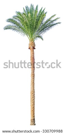 High date palm tree isolated on white background. File contains a clipping path. - stock photo