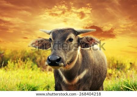 High-dynamic-range imaging,Buffalo on the grass sunset background - stock photo