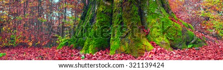 High in the mountains of the Carpathians and the Hutsul located tract with ancient forest, where the ancient  giants meet in the wild forest autumn, green mosses intertwined with red golden foliage - stock photo