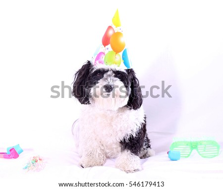 High Key aka Bright White isolated on white image of a cute dog celebrating New Years Eve. Party Animal. Isolated on white.