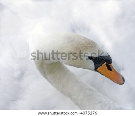 high-key portrait of a young swan isolated on white