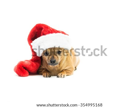 High key shot of a tan Chihuahua wearing a red and white Christmas stocking and looking at the camera - left side