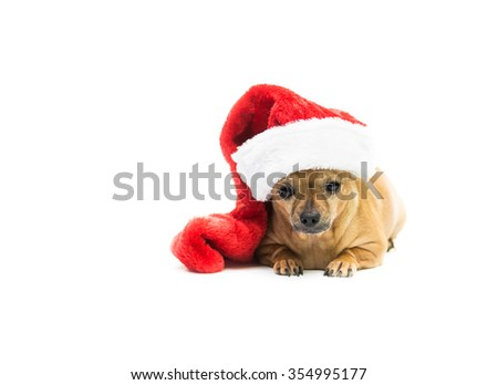 High key shot of a tan Chihuahua wearing a red and white Christmas stocking and looking at the camera - right side