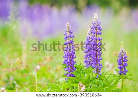 high lush purple lupine flowers, summer meadow - stock photo