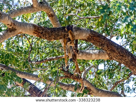 High on the tree, hang the remains of antelope (meal African leopard)  in Chobe - Botswana, South-West Africa - stock photo