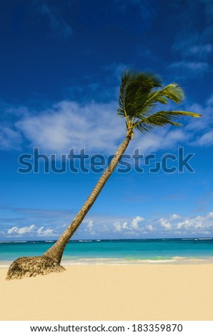 High palm tree on Caribbean beach with golden sand and azure water on sunny summer windy day