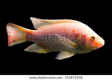 High Quality Shot Of Red Tilapia Fish Underwater Studio Aquarium Shot Isolated On Black - stock photo