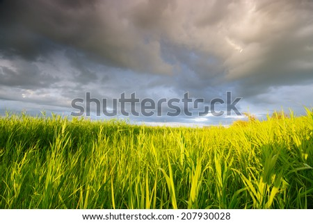 High reed against cloudy sky in wind day   - stock photo