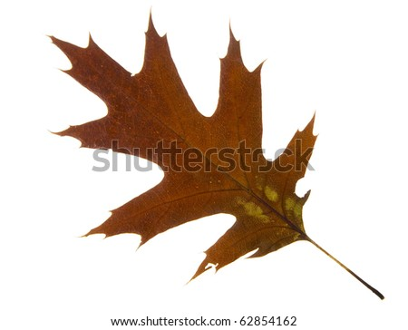 High Resolution autumn dry leaf of red oak tree - stock photo