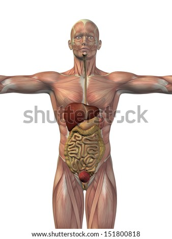 High resolution concept or conceptual anatomical human or man 3D digestive system isolated on white background as metaphor to anatomy,medical,body,stomach,medicine,intestine,biology,internal or digest - stock photo