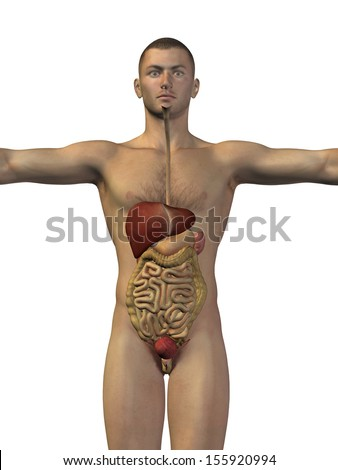 High resolution concept or conceptual anatomical human or man 3D digestive system isolated on white background as metaphor to anatomy,medical,body,stomach,medicine,intestine,biology,internal or digest