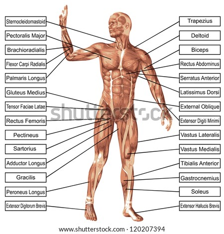 High resolution concept or conceptual 3D human anatomy and muscle isolated on white background as metaphor to body,tendon,spine,fit,builder,strong,biological,skinless,shape,posture,health or medical - stock photo