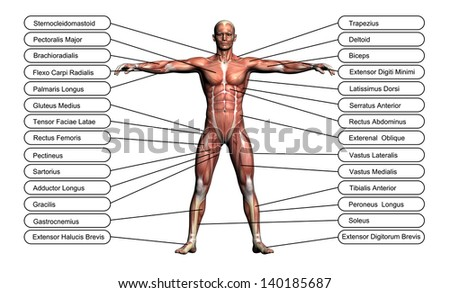 """extensor digitorum brevis"" stock photos, royalty-free, Muscles"