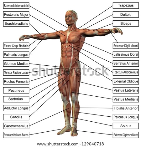 muscle anatomy stock images, royalty-free images & vectors,