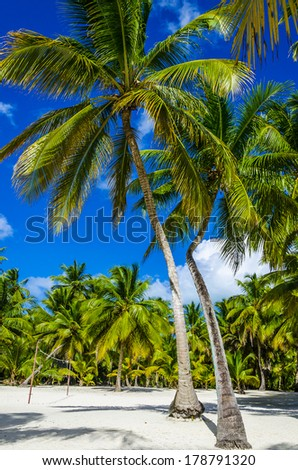 High royal palms on sandy Caribbean beach in Dominican Republic - stock photo