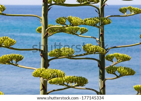 High stem Agave plant blooming on the coast of Sardinia  - stock photo