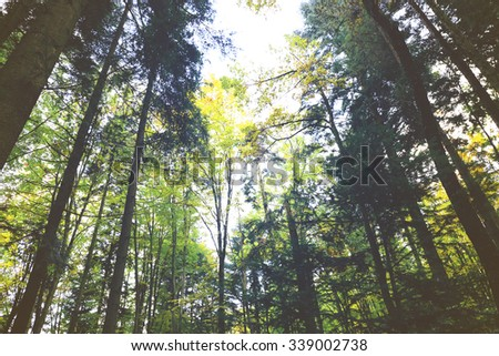 High trees in the forest - stock photo