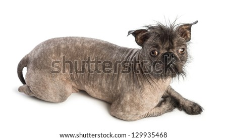 High view of a Hairless Mixed-breed dog, mix between a French bulldog and a Chinese crested dog, lying and looking at the camera in front of white background - stock photo