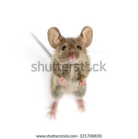 High view of a Wood mouse looking in front of a white background - stock photo