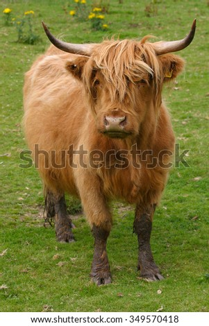 Highland aberdeen angus cow grazing green grass on a farm in Scotland - stock photo