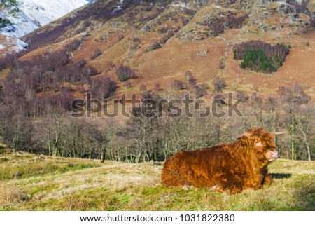 Highland angus cow aka Scottish coo rests on grass with beautiful mountain landscape on background, Highlands, Scotland.