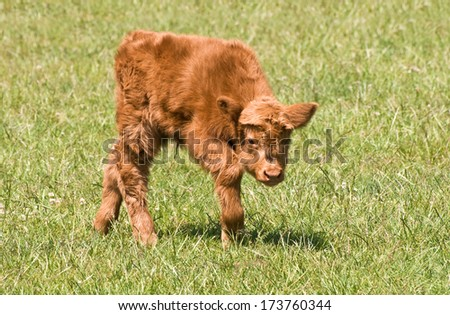 Highland calf at just four days old