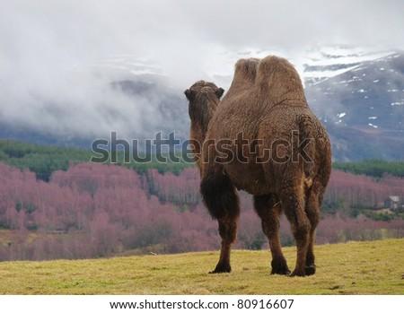 Highland Camel - stock photo