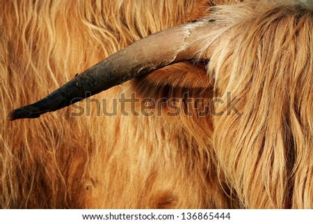 highland cattle bull horn - stock photo