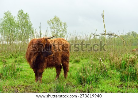 Highland cattle in nature - stock photo