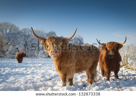 scottish highland cattle snow  Highland cattle Stock Photos, Illustrations,