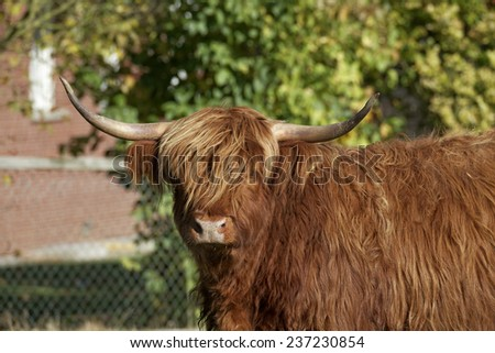 Highland Cattle, Kyloe on a meadow in Lower Saxony, Germany - stock photo