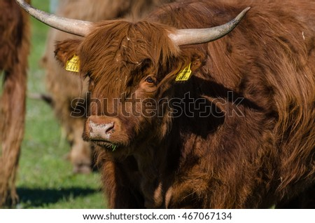 highland cattle looking at the camera