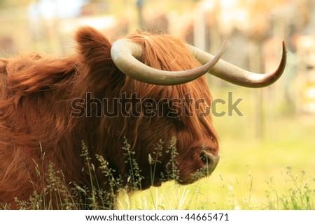 Highland cow - stock photo