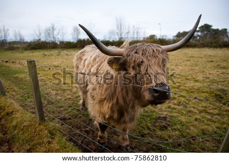 Highland cow from Scotland - stock photo
