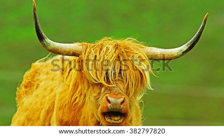 Highland cow in a field chewing the cud and posing for the camera, The Isle of Skye, Scotland - stock photo