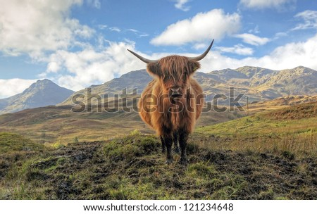 Highland Cow in the Trossachs with the Arrochar mountains in the distance. - stock photo